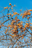 Persimmon fruits on the tree Royalty Free Stock Photo