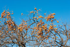 Persimmon fruits on the tree Stock Photography