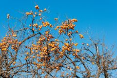 Persimmon fruits on the tree Stock Images