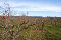 Persimmon fruits on trees on autumn field Stock Photo
