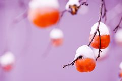 Persimmon fruits under the snow royalty free stock photography