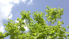 Persimmon green branches stock footage