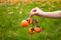 Persimmon. Hand holding a branch with apples paradise stock photo