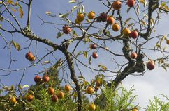 Free Persimmon Kaki Tree Royalty Free Stock Images - 164588129
