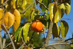 Persimmon na drzewie obrazy royalty free