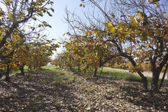 Persimmon orchard at fall Stock Image
