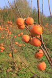 Persimmon in a orchard, kaki fruit Stock Photo