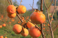 Persimmon in a orchard, kaki fruit Stock Photography