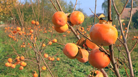Persimmon in a orchard, kaki fruit Royalty Free Stock Photography