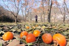 Persimmon orchard Stock Photo