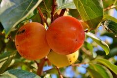 Persimmon owoc Obraz Royalty Free