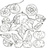 Persimmon , Persimmon Vector. Composition of black and white  Persimmons. Persimmon icon, fruit set. Fruit Composition for Stock Image