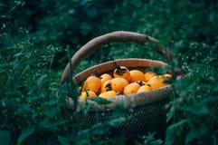Persimmon on retro desk in basket. Persimmon tree ( kaki ) with fruits Stock Image
