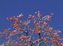 Persimmon and Snow Royalty Free Stock Images