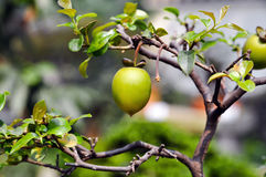 Persimmon in sunshine royalty free stock image