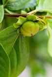 Persimmon tree. Unripe persimmon on a tree in california stock image