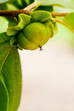 Persimmon tree. Unripe persimmon on a tree in california royalty free stock photography