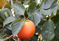 Persimmon tree. One persimmon on the tree stock photos
