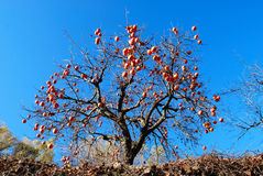 Persimmon tree. With blue sky background Royalty Free Stock Image