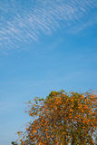Persimmon tree and autumn sky Stock Images