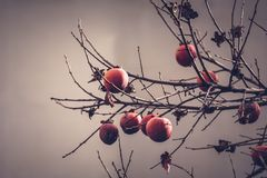 Persimmon tree in the autumn. To mean a concept royalty free stock photography