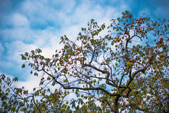 Persimmon tree in blue sky. A persimmon tree with full of fruit in the sunshine under blue sky royalty free stock photos