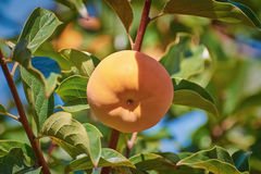 Persimmon on Tree Royalty Free Stock Photos