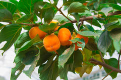 Persimmon tree and bright orange Royalty Free Stock Photography