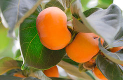 Persimmon tree and bright orange Royalty Free Stock Photo