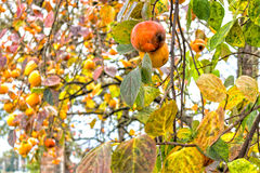 Persimmon tree. Persimmon, Diospyros kaki, tree: brown branches and orange fruit among green leaves in Italian countryside stock images