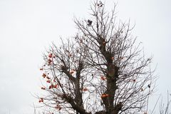 Persimmon tree in fall. Persimmon and persimmon tree in fall royalty free stock image