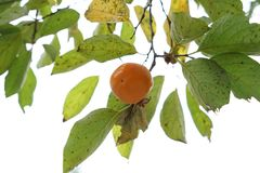 Persimmon tree in fall. Persimmon tree and leaf in fall stock images