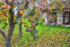 Persimmon tree and farmhouse. Ruined farmhouse and persimmon, Diospyros kaki, tree with brown branches, orange fruit and autumn leaves in Italian countryside royalty free stock images