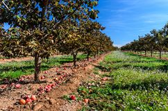 Persimmon tree field. After harvest in Spain stock image