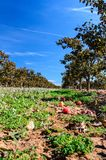 Persimmon tree field. After harvest in Spain royalty free stock images