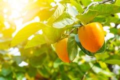 Persimmon tree with fruit. Persimmon tree with ka ki fruit stock image