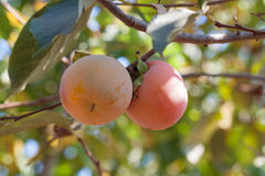 Persimmon Royalty Free Stock Images