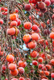 Persimmon tree with fruit. Persimmon tree with red fruit in winter, Italy stock image