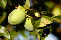 Persimmon on the tree Stock Photos