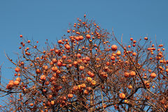 Persimmon tree Royalty Free Stock Photography