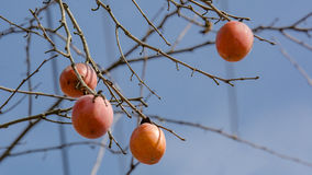 Persimmon tree. Fruits on persimmon tree at wiinter time. nPhoto taken on: January 16th, 2017 stock photos