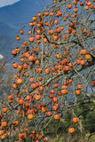 Persimmon tree. Fruits on persimmon tree at wiinter time.nPhoto taken on: January 16th, 2017 royalty free stock images