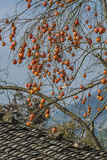 Persimmon tree. Fruits on persimmon tree at wiinter time.nPhoto taken on: January 16th, 2017 royalty free stock photography