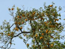 Persimmon tree full of almost ripe orange fruits. In a sunny autumn day royalty free stock images