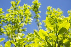 Persimmon tree leaves. Fresh green persimmon tree leaves under blue sky Royalty Free Stock Images