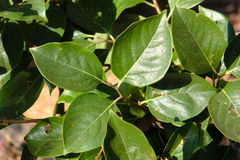 Persimmon tree leaves Royalty Free Stock Images