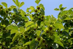 Persimmon Tree with many blooms. Persimmon tree blooming on spring. Green leaves, many exotic blooms with 4 symetrical petals, blue sky stock photo