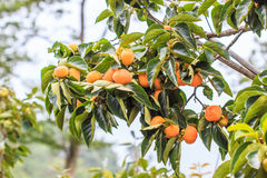 Persimmon tree Royalty Free Stock Photo