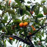 Persimmon tree. With fruit in the garden royalty free stock photos