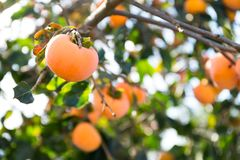Persimmon tree. Outdoor beautiful landscape scenery royalty free stock image